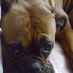 Fotografía perro Boxer