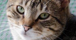 Primer plano gato cebreado