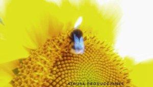 Fotografía macro abeja en girasol