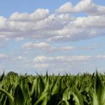 Fotografía Campo de maiz