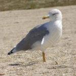 Fotografía Gaviota en arena playa