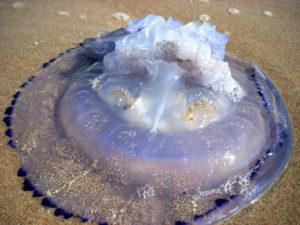 Fotografía Medusa en tierra